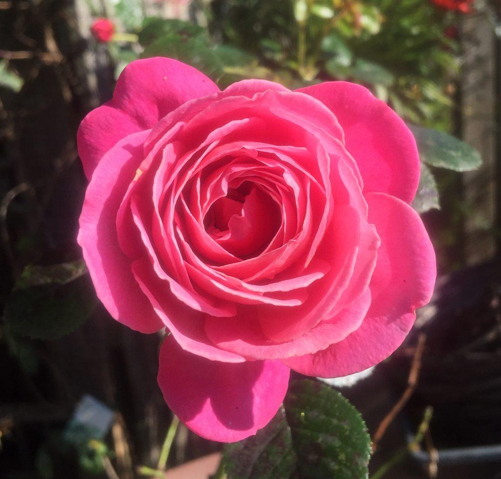 Rose 'pink abundance'