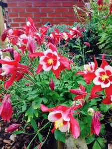 Aquilegia Red Hobbit