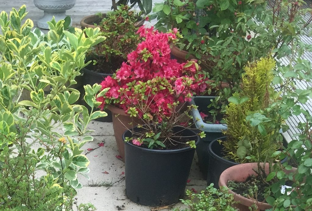 Mother's Day azalea