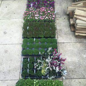 alpine plants in 9cm pots