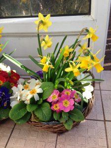 Daffodil with primroses