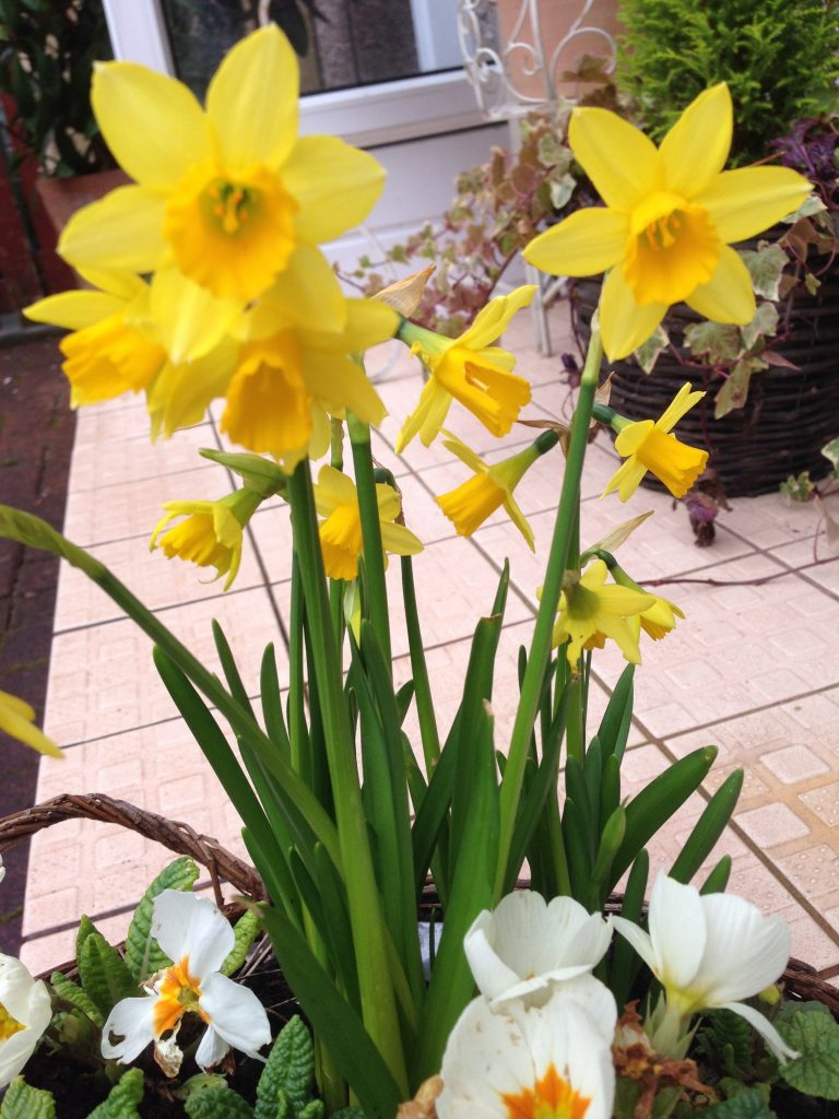 Daffodils at front door