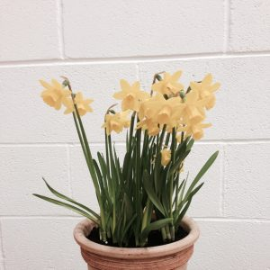 Daffodils in a small clay pot