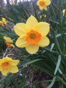 Daffodil yellow and orange
