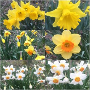 Daffodils - collection