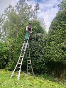 High Conifer Hedge trimming