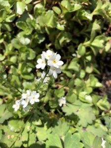 White Forget-Me-Nots - wild about weeds