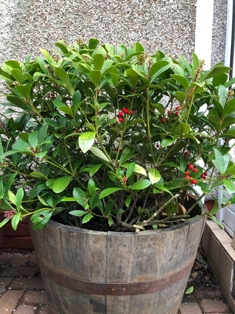 Skimmia shrub - plants of the month - January