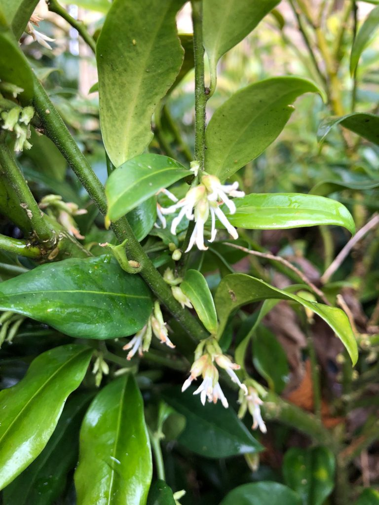 Sarcococca flowers - plants of the month - January