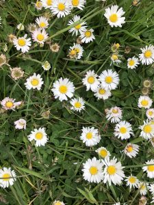 Daisies - wild about weeds