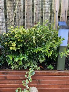 Sarcococca shrub - plants of the month - January