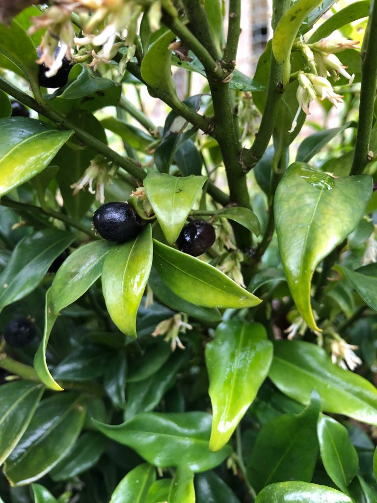 Sarcococca berries - plants of the month - January