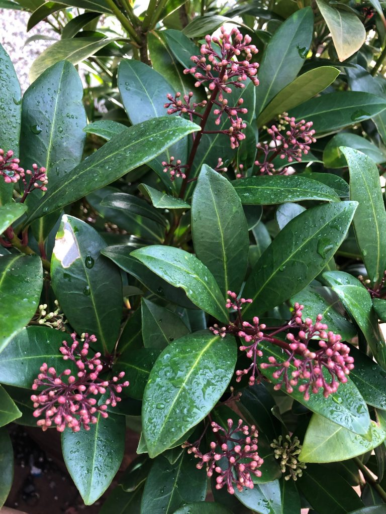 Skimmia flower buds - plants of the month - January