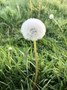 Dandelion gone to seed - wild about weeds
