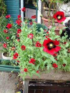 Poppies in a pot - wild about weeds