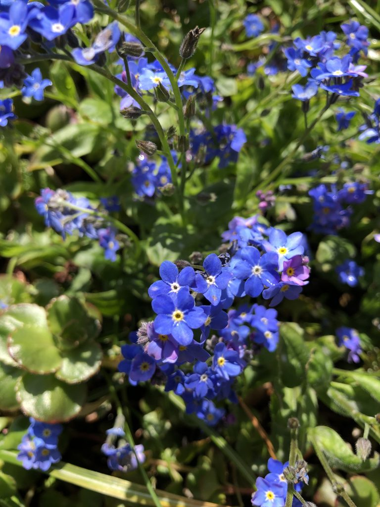 Blue Forget-Me-Nots - wild about weeds