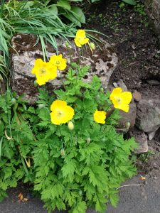 Meconopsis Welsh Poppy - wild about weeds