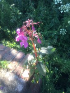 Himalayan Balsam - wild about weeds
