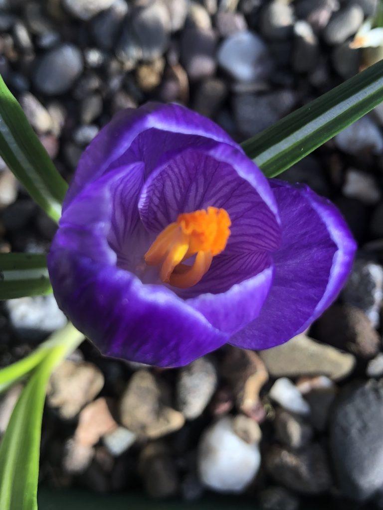 Crocus 'Flower Record' at front door