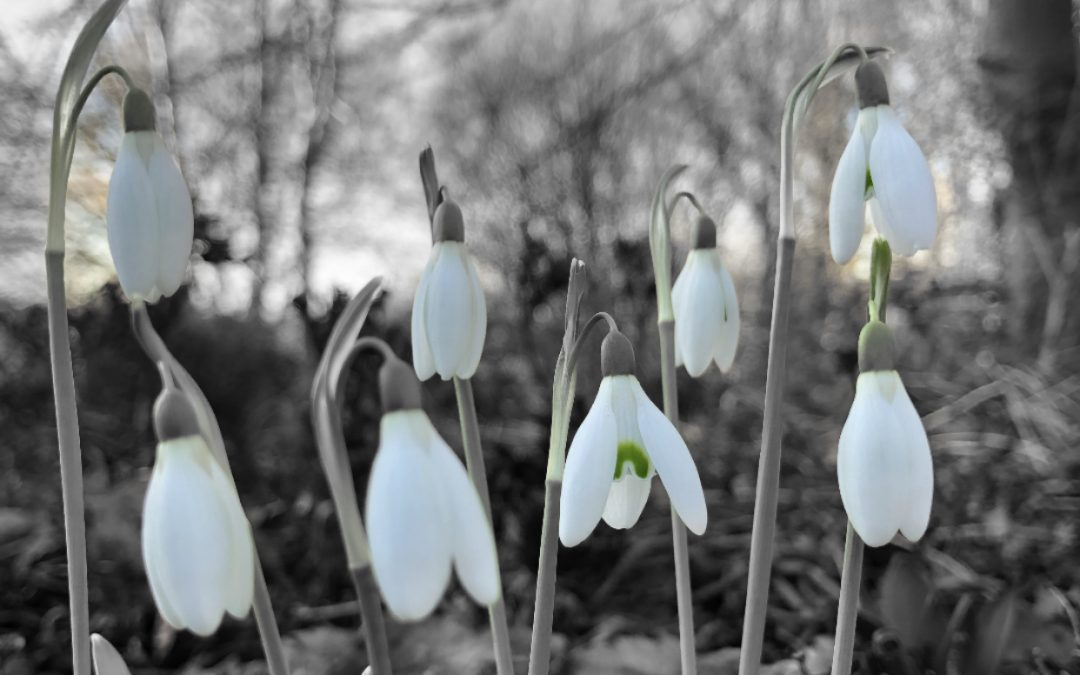Snowdrops black & white / green - book review