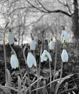 Snowdrops black & white / green - book review
