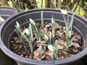 Snowdrop Nivalis in pot emerging