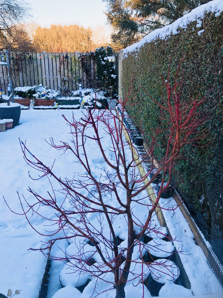 Coral Bark Acer - with snow