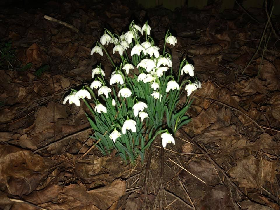 Snowdrops at night - Some Snowdrops - book review