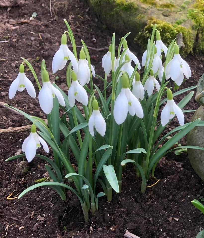Snowdrops in a group - Some Snowdrops - book review