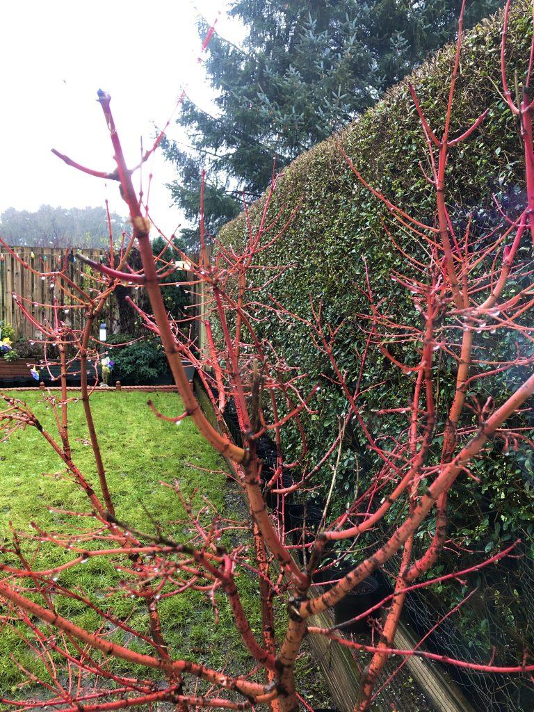 Coral Bark Acer - near privet hedge