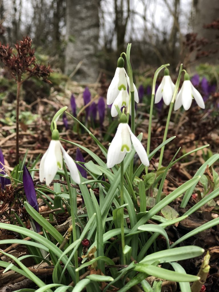 6 Snowdrops & Crocus - shed roof