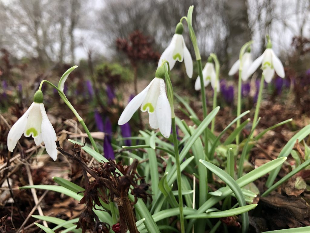 6 Snowdrops & Crocus - shed roof blurred background