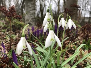 6 Snowdrops & Crocus - shed roof close up