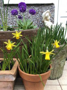Daffodil 'Tete a Tete' in clay pot