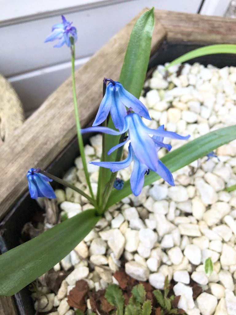 Scilla winogradowii from above