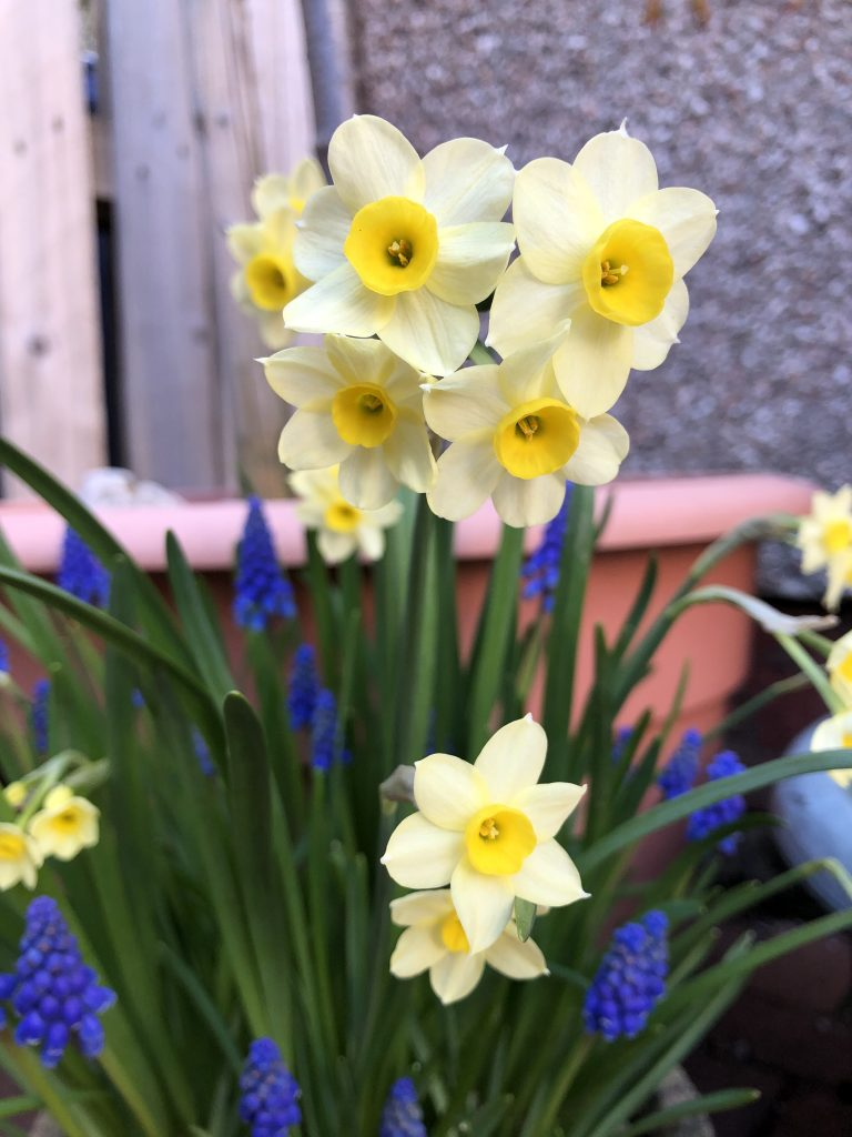 Daffodil 'Minnow' with Muscari close up