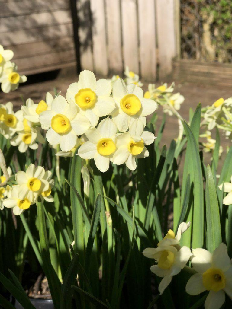 Daffodil 'Minnow' in pots close up